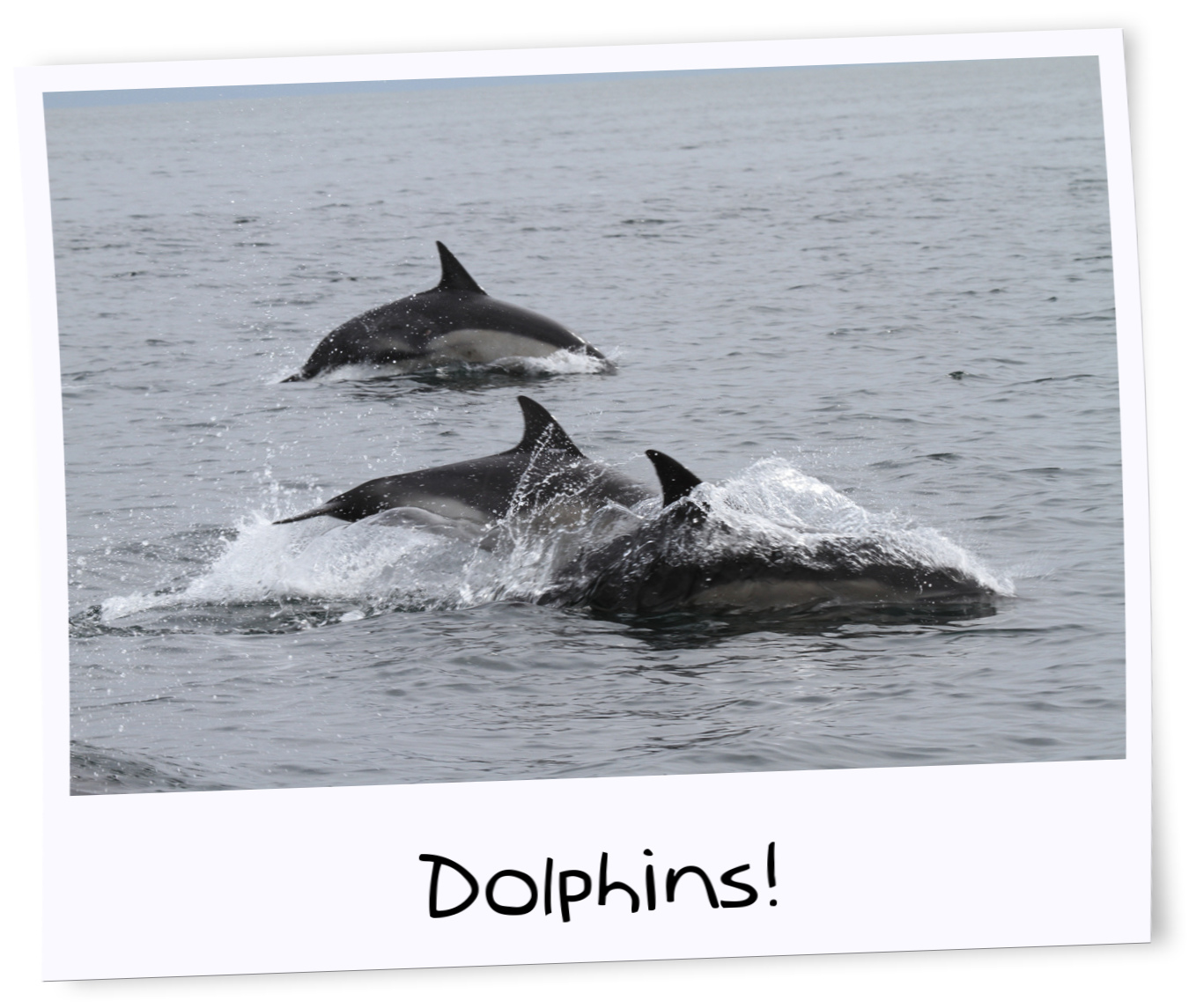 Multiple-dolphins
